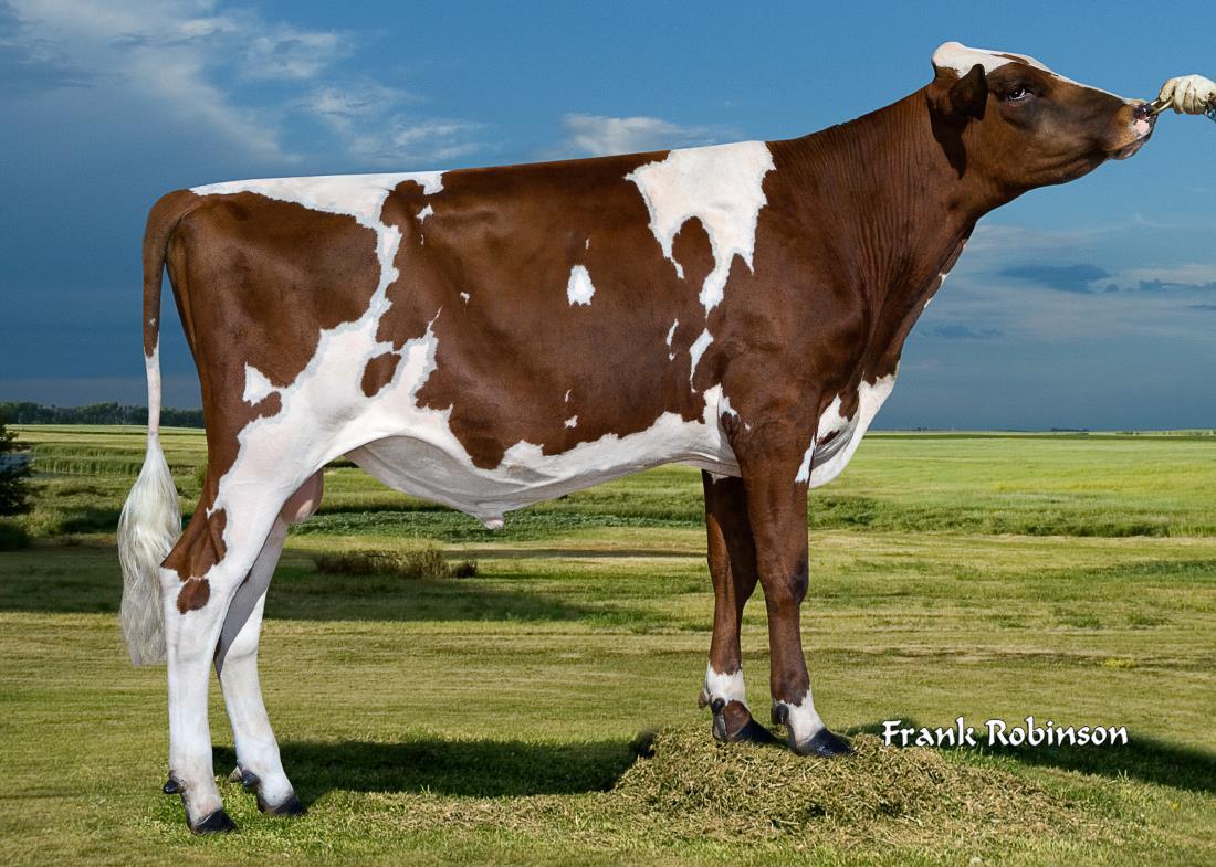 Dairy Bull - 147AY08116 - Des Coteaux Volka-ET