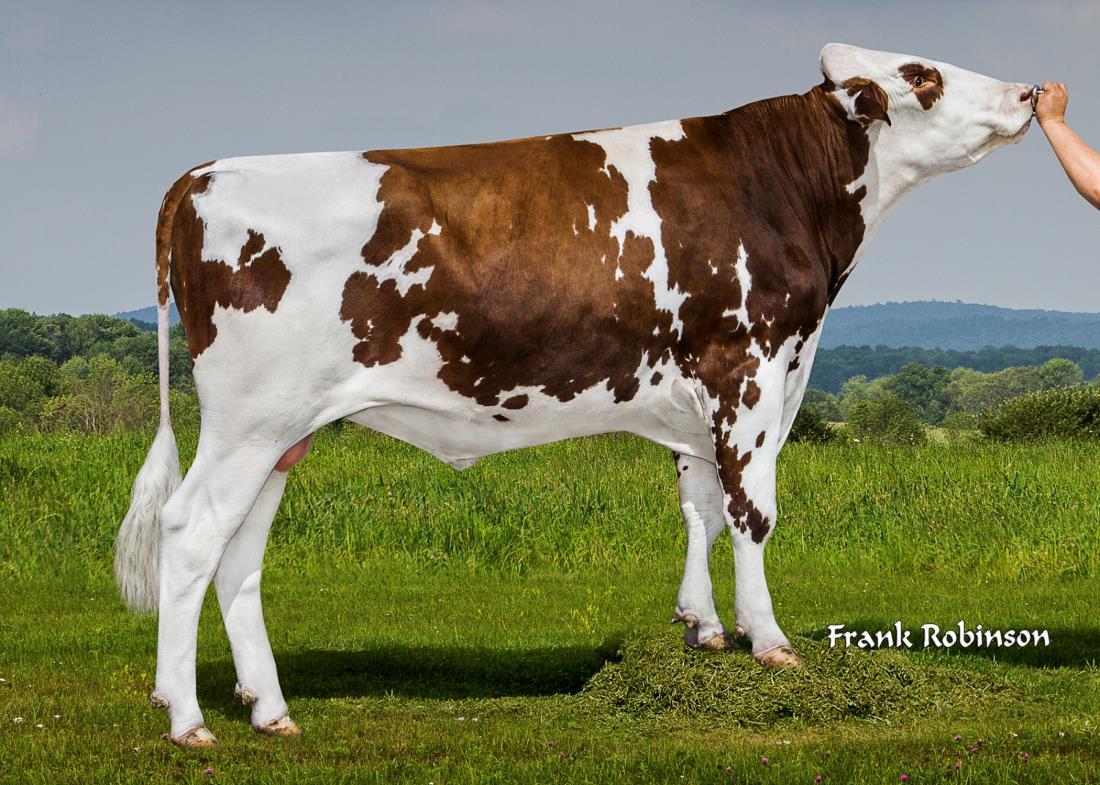 dairy bull - 151ho05837